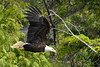 This is one of my favorites.  This eagle seemed to know he/she was being photographed.